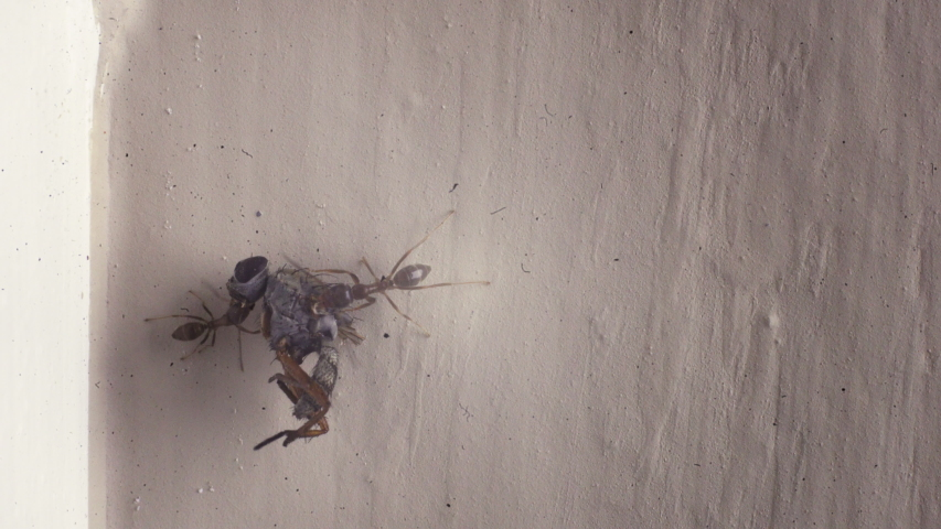 Macro view of ants working together to carry a dead fly carcass back to their nest. | Shutterstock HD Video #1044996595