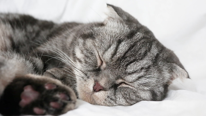 The gray Scottish fold cat lies on the bed, slowly opens its eyes. The concept of pets, comfort, pet care, keeping cats in the house. Light image, minimalism, copyspace.   Shutterstock HD Video #1045226635