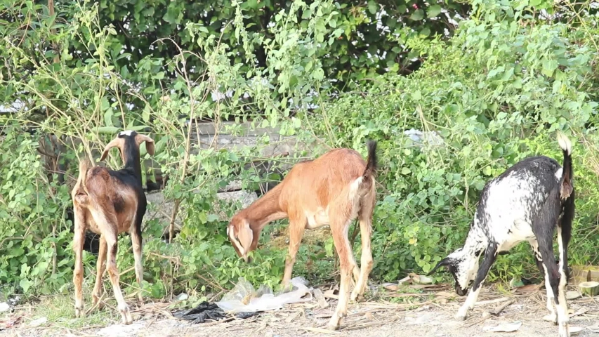 Various Or Different Colored Indian Breed Goats Grazing Or Eating Leaves Of Green Plants In Daylight. | Shutterstock HD Video #1045410415