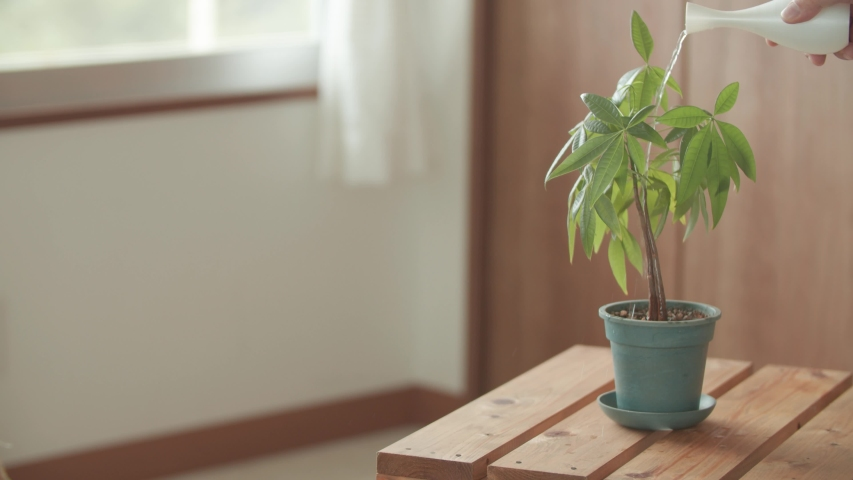 Watering a small plant in a pot with wooden table and background | Shutterstock HD Video #1045451335
