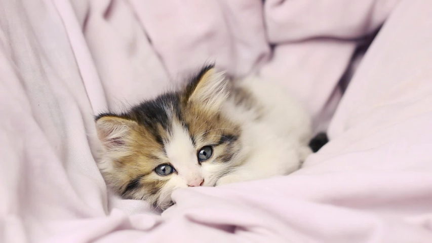 A small fluffy kitten with blue eyes in a soft bed looks at the camera and turns his head. Playful kitten   Shutterstock HD Video #1045455235