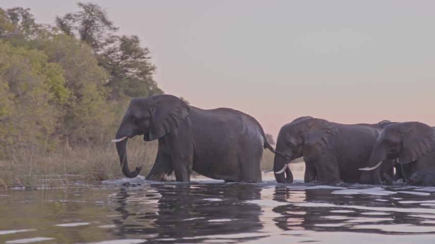 Herd of elephants walking across river at dusk in Africa | Shutterstock HD Video #1045580095