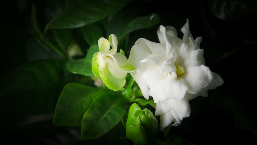 Gardenia definition/meaning