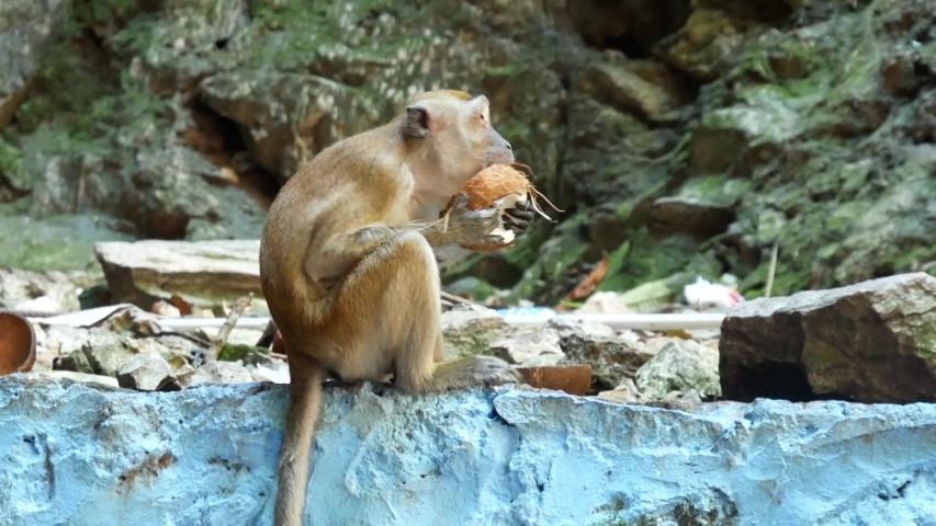A wild macaque monkey eating a banana in the Batu Caves near Kuala Lumpur, Malaysia. | Shutterstock HD Video #1045870765