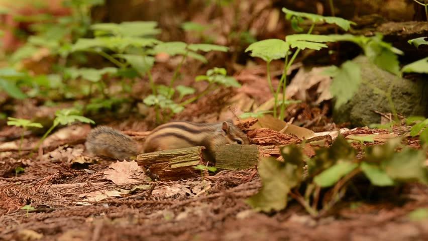 Siberian Chipmunk burying food in the ground....