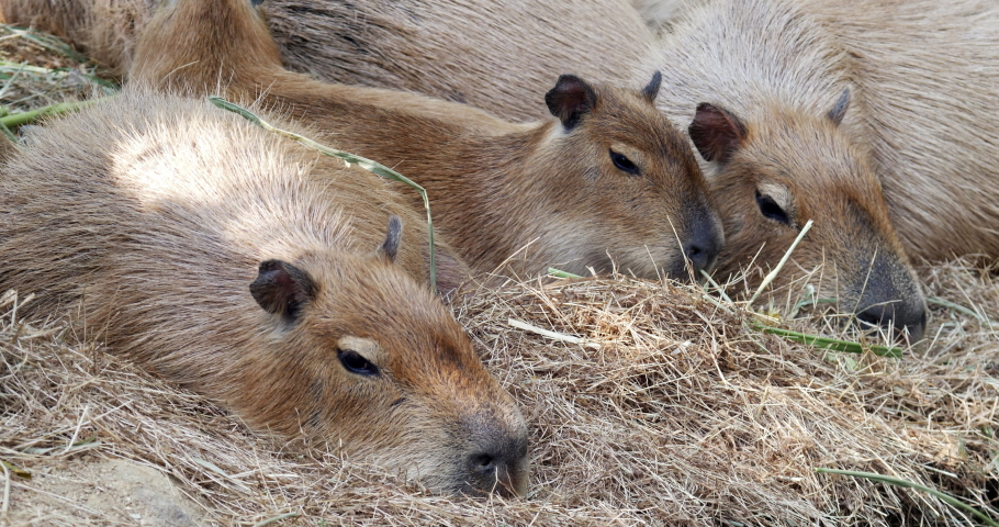 Group of capybara relax looking at camera , 4K Video Ultra HD, | Shutterstock HD Video #1046584975