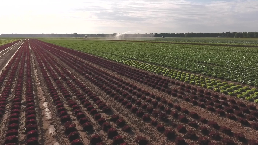Field of lettuce, plantation outdoor, raws of different plants, spray field, machinery for watering, irrigation. Aerial footage | Shutterstock HD Video #1047228955