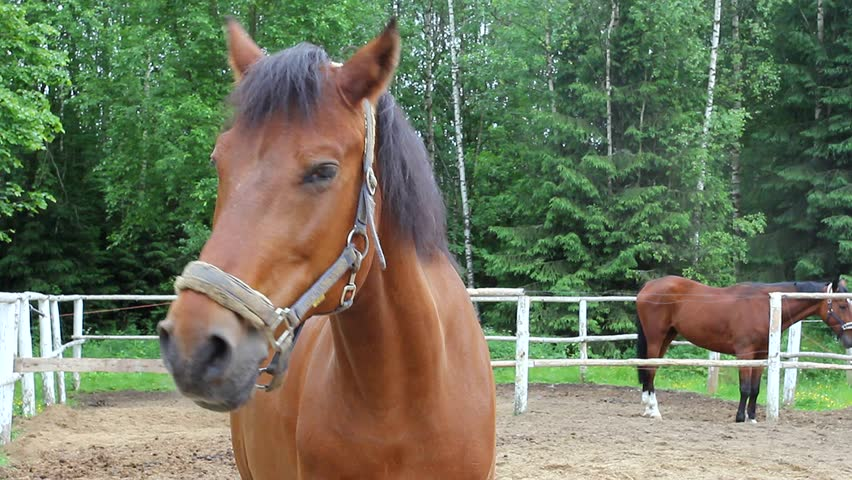 Thoroughbred Horse  Budenny Horse, Close Stock Footage Video (100%  Royalty-free) 10487015 | Shutterstock
