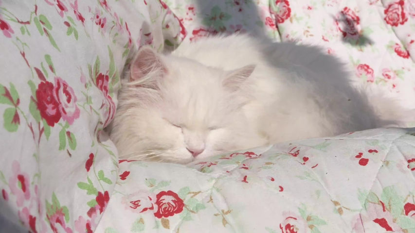 Beautiful, white, long-haired Persian cat, Ragdoll cat lies and sleeps on a flowery blanket   Shutterstock HD Video #1049244175