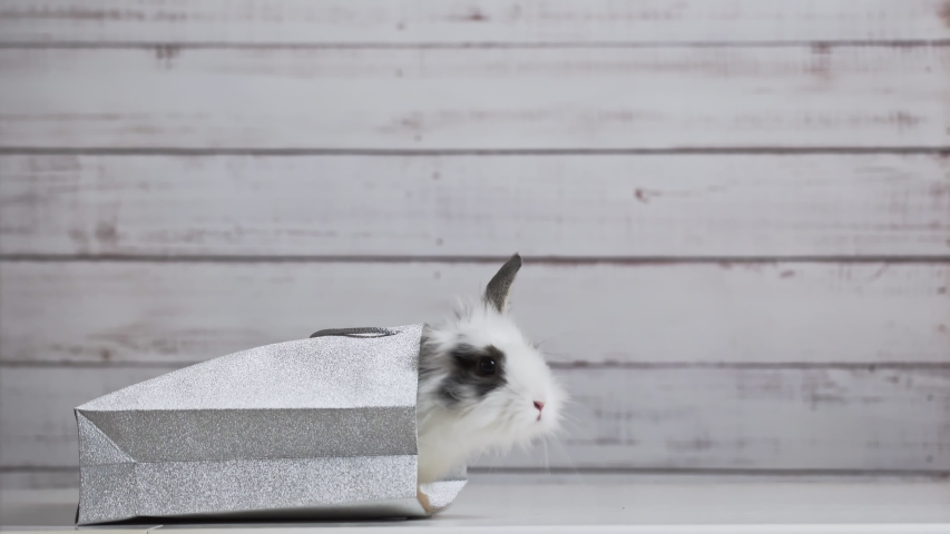 Close-up of cute white bunny is sitting in silver paper bag. Concept of gift and present, Easter and Christmas Holliday | Shutterstock HD Video #1049540815