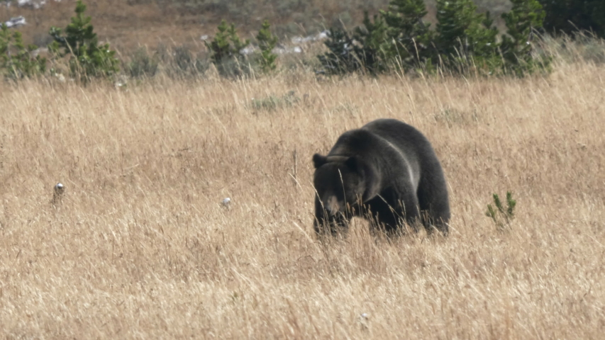 Medium shot of a large grizzly approaching across a meadow at yellowstone national park in wyoming, usa | Shutterstock HD Video #1049633695