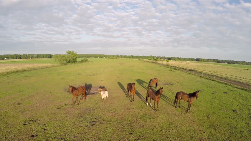 Aerial Drone In Front Of Horses Startled From Sound And Then Running Away A Bit Scared The Small Rotors Flying Towards