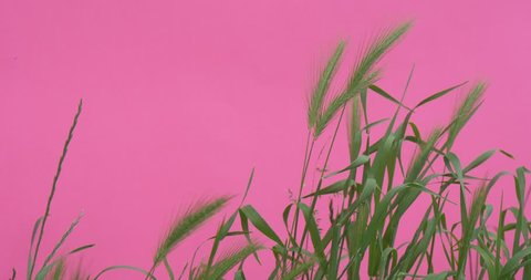 OPOLE/POLAND - JUN 08 2015: Wheat Green Leaves And StalksChroma Key Wavering Flowers, Peonies And Milfoils,Green Leaves And Stalks,Wavering on the Wind, bright green background, Chromakey Chroma