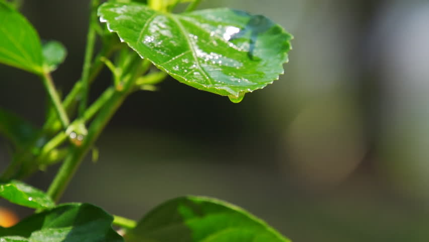 Stock Video Clip of Slow motion water dripping off green leaf ...