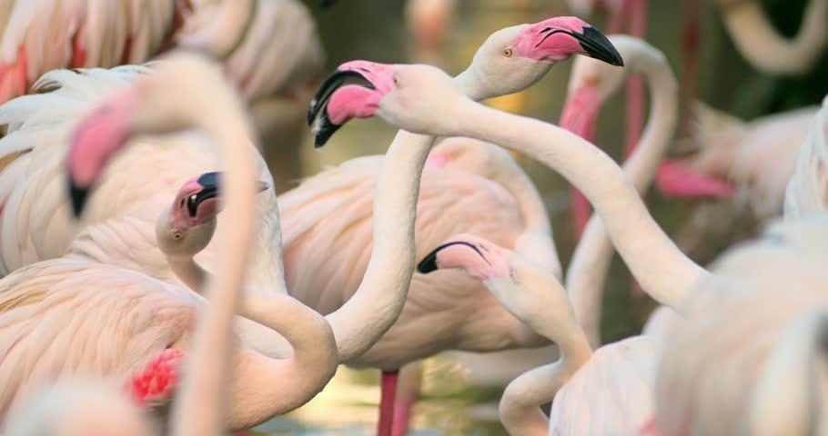 Flamingos ritual dancing and breeding season