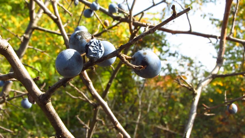 Close up footage of sloe berries on a branch gently swaying in the wind.