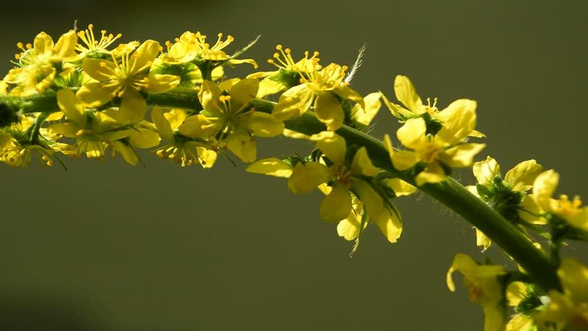 Header of Agrimonia Eupatoria