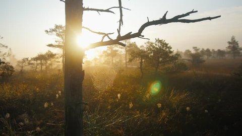 Dolly shot through marshland pine trees with cobwebs during foggy sunrise
