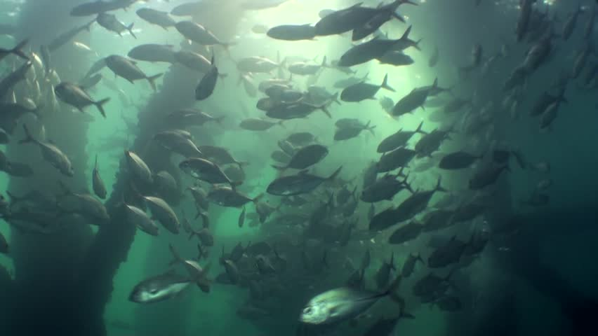 School of big-eye jacks swimming excitingly under artificial reef structure with sunrays | Shutterstock HD Video #10675835