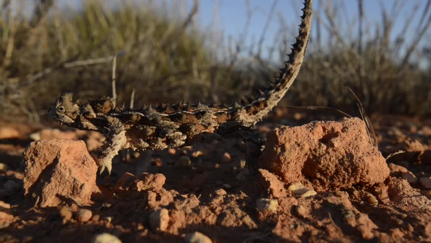 Thorny Devil Head Bobbing Stuttered Movement