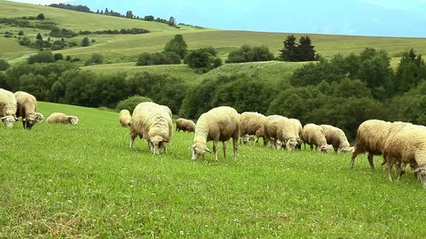 flock of sheep breeding in the green grass mountain meadow