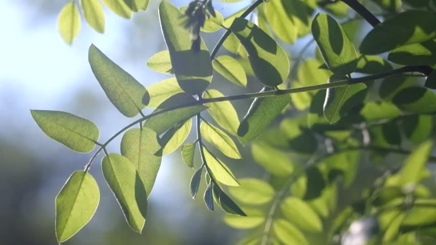 Leaves Backlit Summer Acacia Tree Stock Footage Video 100