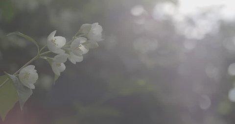 jasmine flowers in bloom 4k prores footage, closeup video