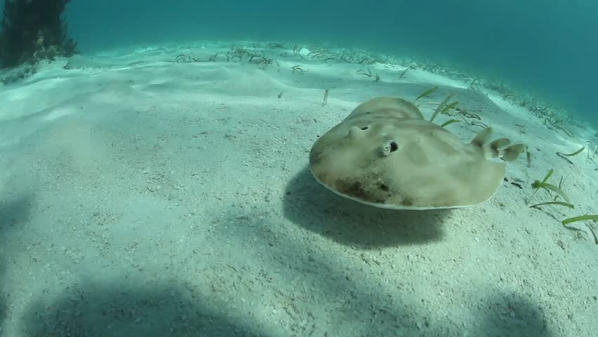 Electric ray narcine bancroftii image free stock photo - Can pregnant women swim in public pools ...