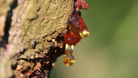 Drop of resin on tree apricot, blink of thin crust