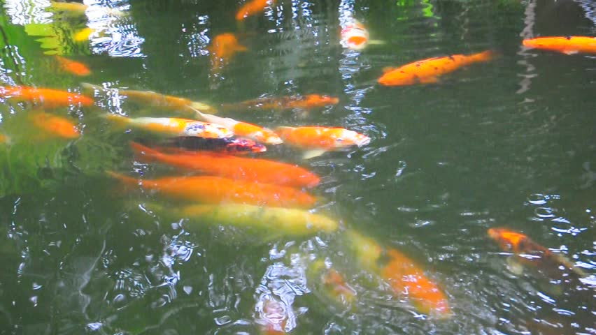 Beautiful carp fishes swimming and chasing in the river Koi fish swimming pool