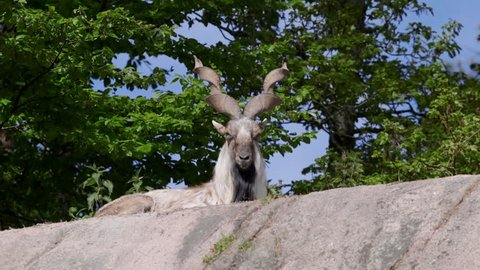 Huge male goat laying itching body with cork screw horns