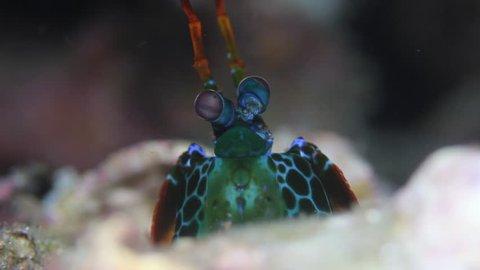 Smashing mantis shrimp macro shot underwater on a coral reef in Similan Islands of Thailand