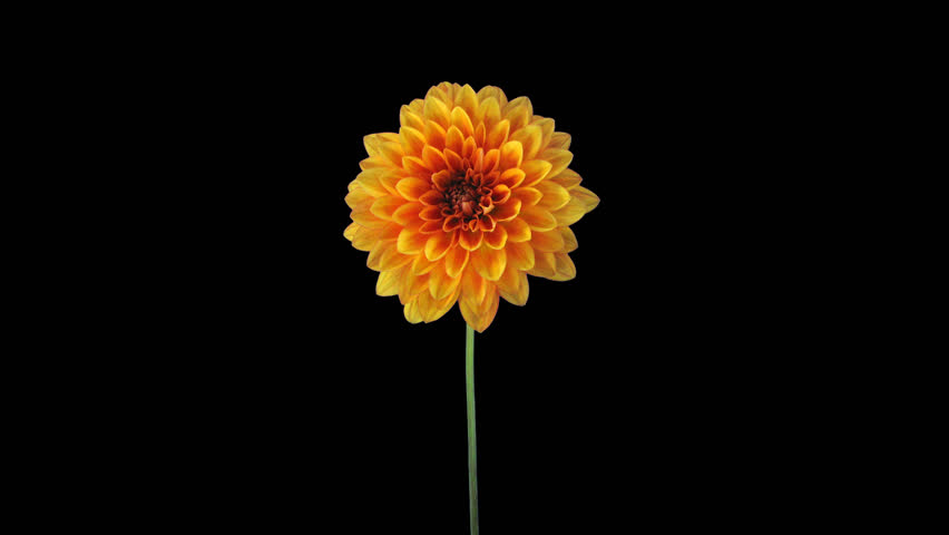 Time-lapse of growing and opening orange dahlia (georgine) flower 7a4 in UHD 4K PNG+ format with ALPHA transparency channel isolated on black background