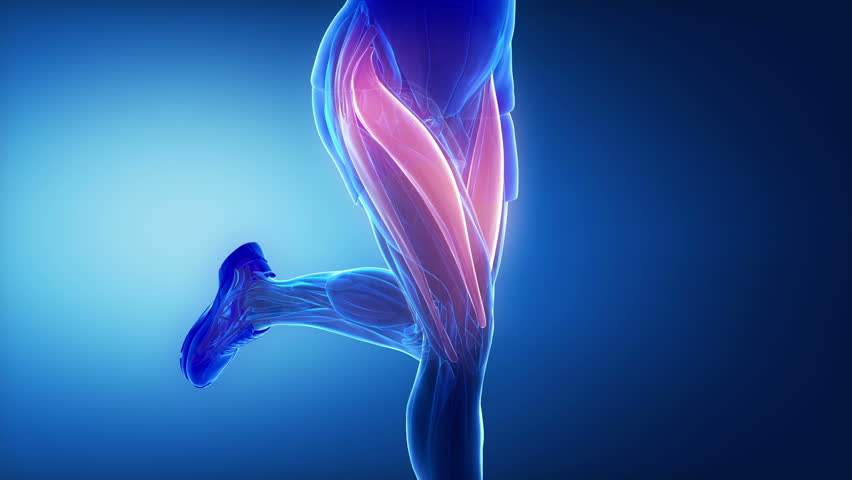 Thigh muscles - leg muscles anatomy animation | Shutterstock HD Video #10989035