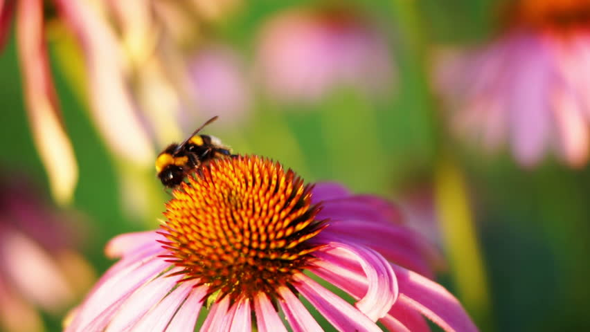 Bumble-bee And Purple Cone flower (Echinacea Purpurea). Echinacea purpurea (eastern purple coneflower or purple coneflower) is a North American species of flowering plant in the sunflower family.