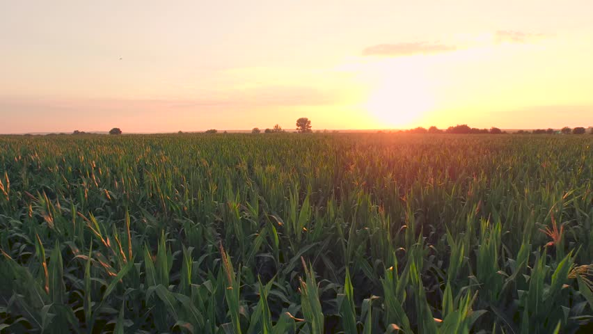 Sunset On Summer Corn Field Agriculture Food Production Aerial Sunrise New Beginning Lone Tree Close Up Fly Over Sky Clouds Heaven Concept