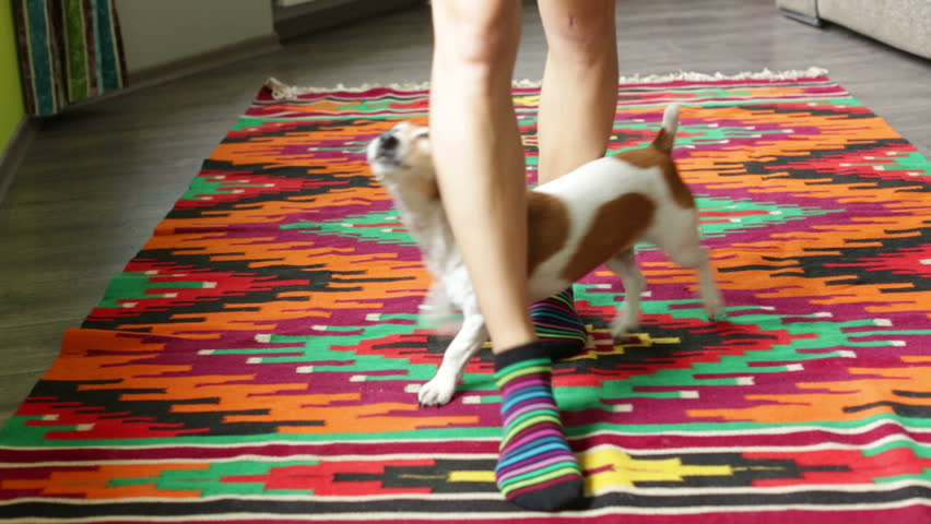 Young girl and a dog to perform tricks at home. The dog Jack Russell terrier curled around the legs mistress. video footage