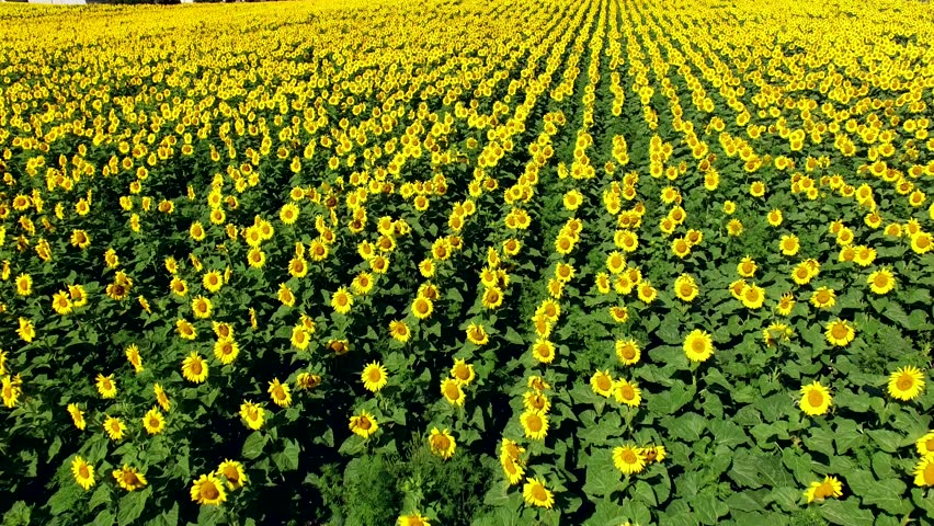 Vast Field Of Happy Yellow Stock Footage Video 100 Royalty Free
