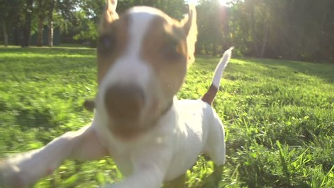 very cute puppy Jack Russell Terrier running around the grass in the Park , slow motion,sunset, wide angle shooting, running at the camera
