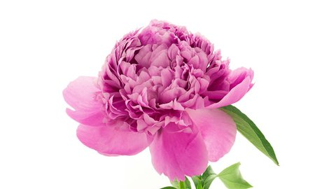 Timelapse of fully double pink peony Dr Alexander Fleming  flower blooming on white background in 4K (4096x2304)