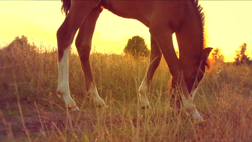 Little horse grazing. Foal horse grazing outdoors over sunset. Meadow. Slow motion 240 fps. High speed camera. HD 1080p