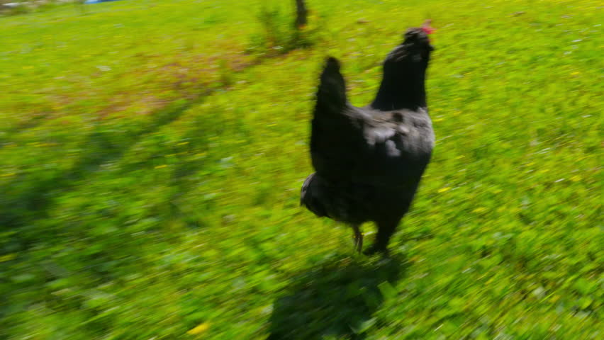 chasing chicken cock outdoor, funny running following
