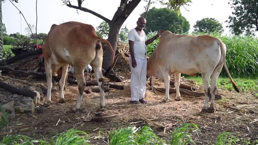 Farmer with his bulls, rural village Salunkwadi, Ambajogai, Beed, Maharashtra, India