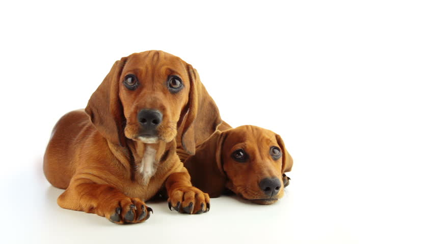 Studio. Two puppies Dachshund lie on the white background. One puppy lifts her head and closely following the action in front of him