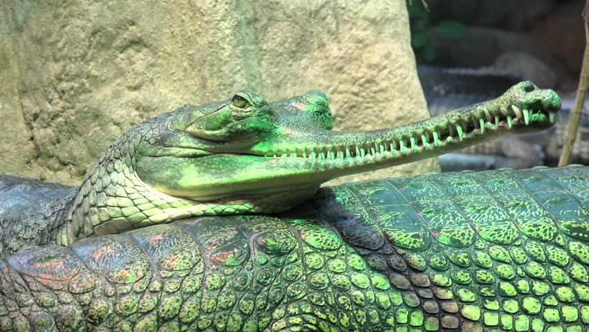 Group of gharials (Gavialis gangeticus).