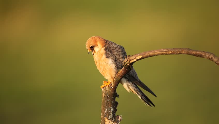 Bird Red-footed Falcon, Falco vespertinus, sitting on branch with clear green background, Hungary | Shutterstock HD Video #11484725