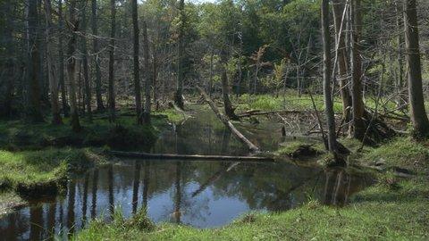 Summer swamp in the forest. Muskoka, Ontario.