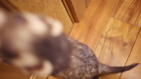Top view of funny ferret running on floor in house