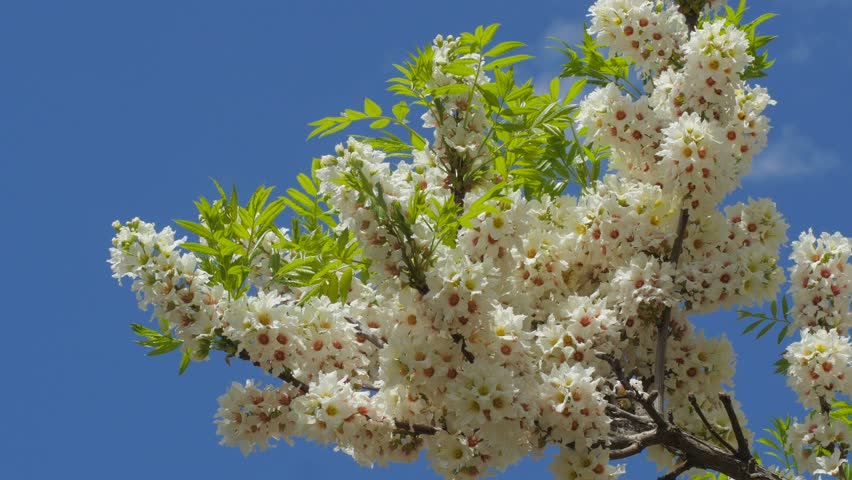 Inflorescences Of Acacia Senegalia Greggii Stock Footage Video