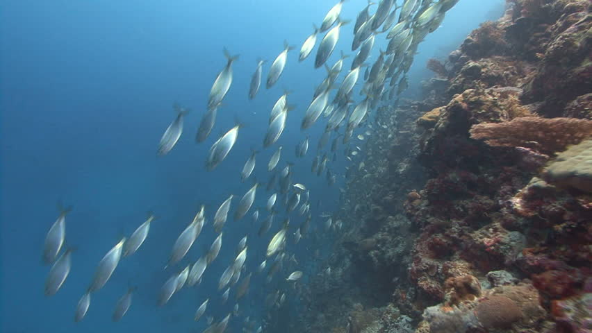 School of silver fish evade predators